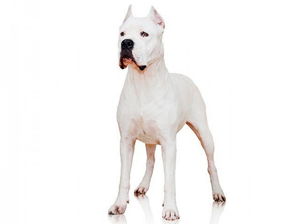 5 Most Dangerous Dog Breeds, That Can Defeats A Pitbull