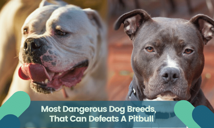 Most Dangerous Dog Breeds, That Can Defeats A Pitbull