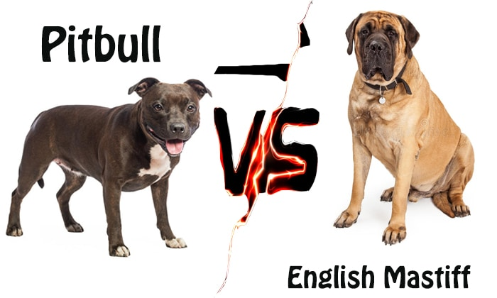 Pitbull Vs English Mastiff