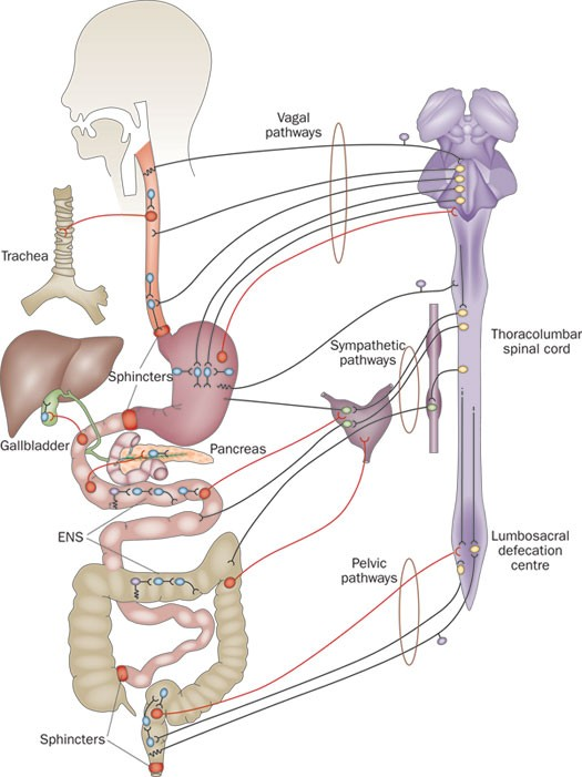 The Enteric Nervous System