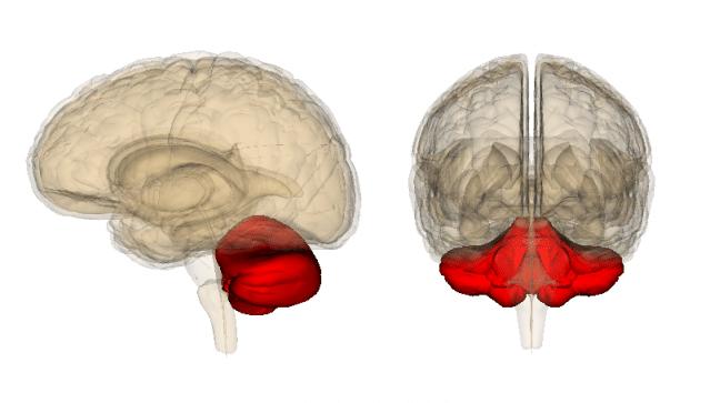 cerebellum in emotional regulation